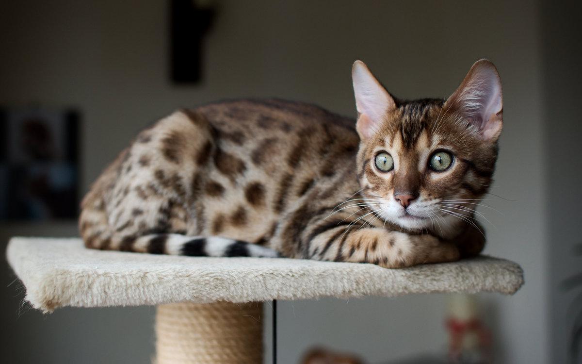 Не по карману: самые дорогие породы кошек