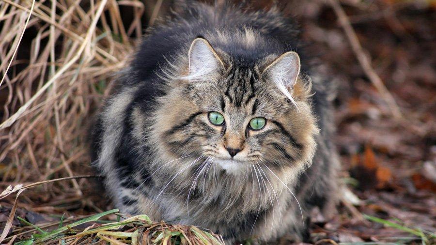 норвежская кошка