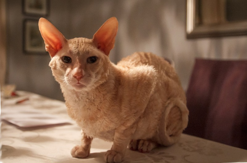 Мечта хозяек: 4 породы кошек, которые не линяют