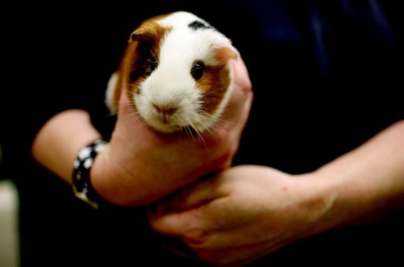 Больше никогда не стану покупать животных на «птичке»: как нам досталась свинка с сюрпризом
