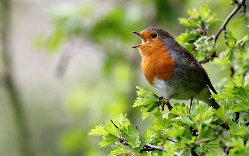 зарянка певчая птица