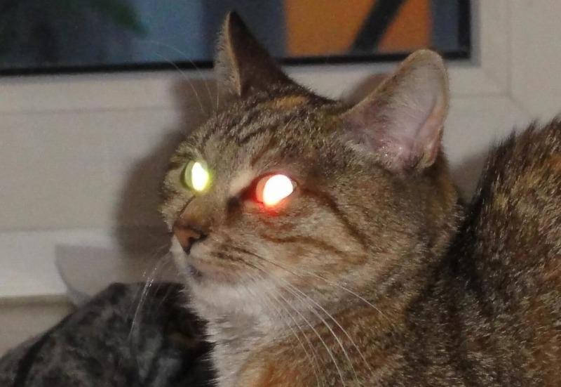 Ночной «фонарь»: почему у кошек в темноте светятся глаза