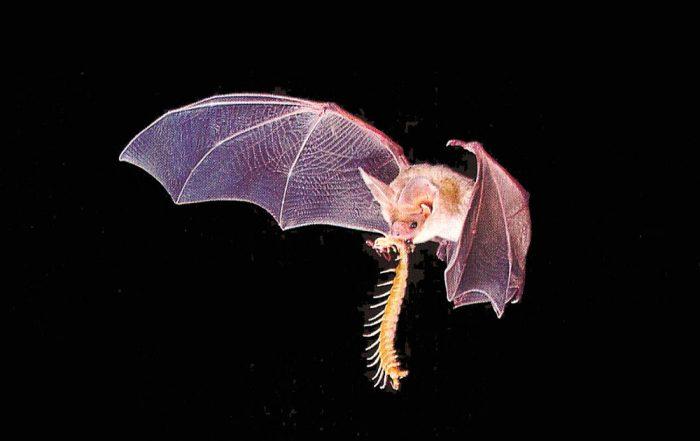 Летучая мышь ловит носикомых