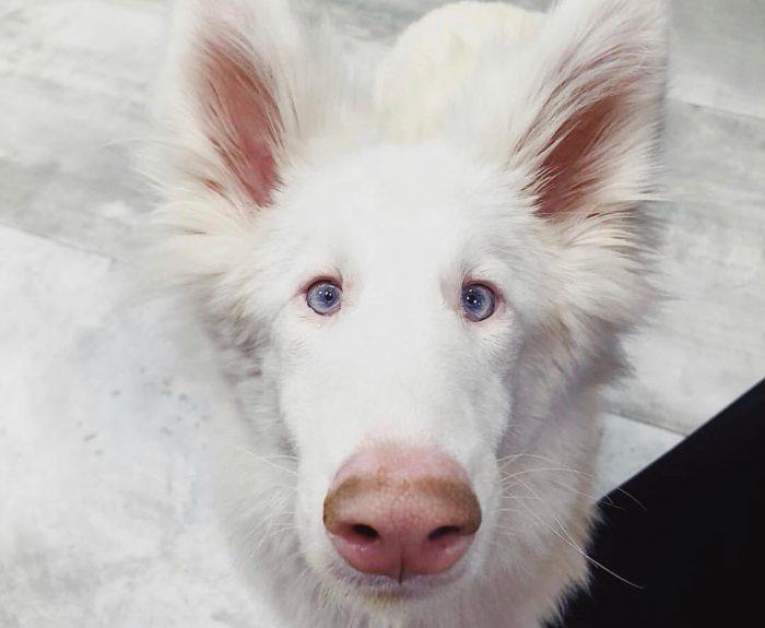 собака Август