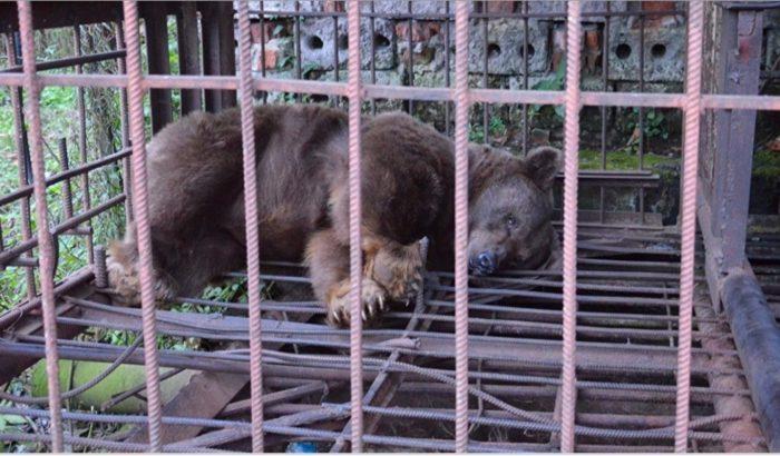 медведи в клетке