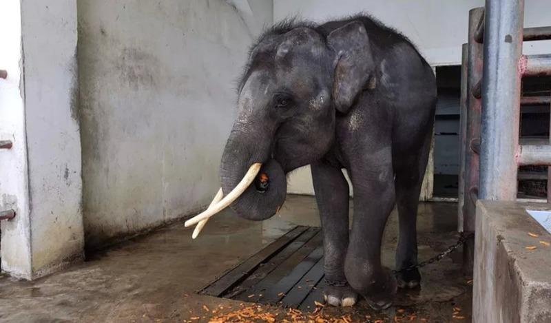 У пленного слона из Таиланда появился шанс на новую жизнь