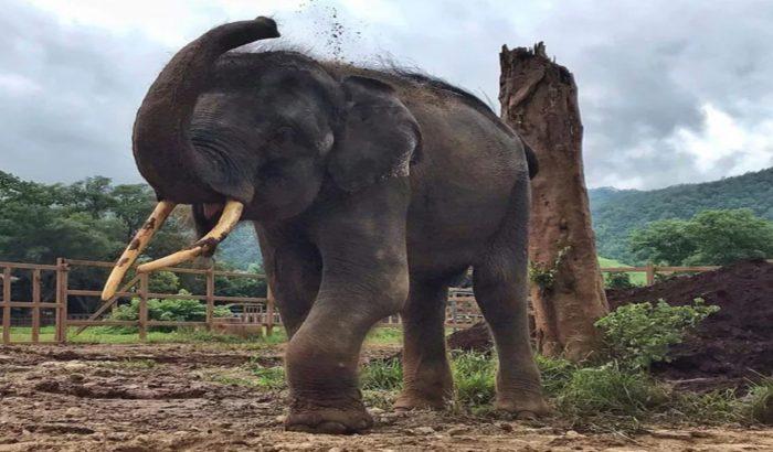 Слон привыкает к новой жизни
