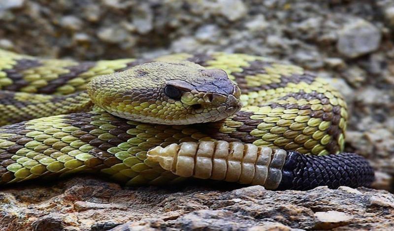 Майка Познера укусила гремучая змея