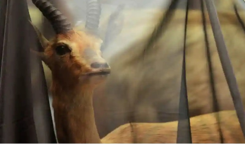 В Бристольском музее экспонаты завешивают траурной тканью