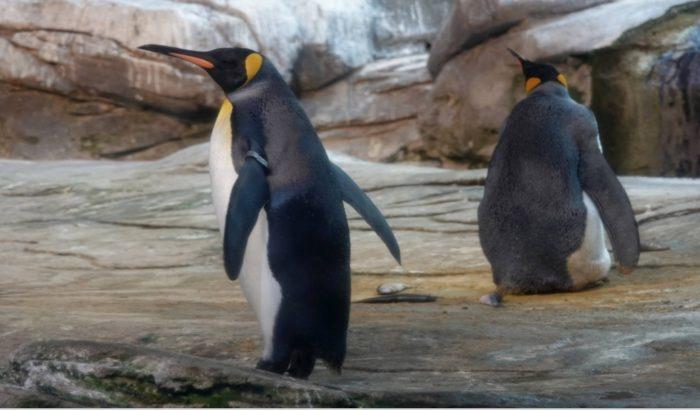 Пингвины высиживают яйцо