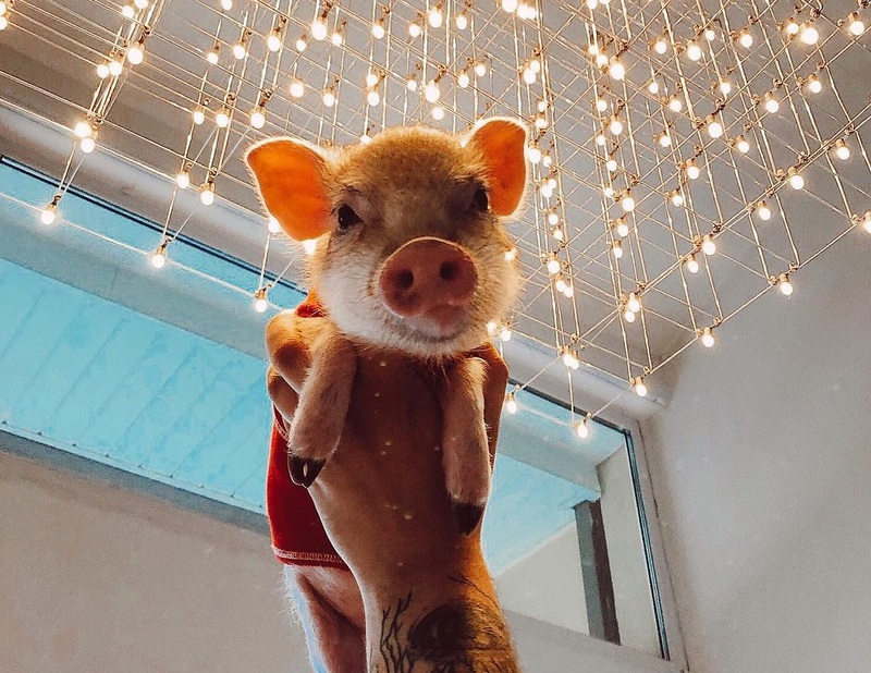 Самая милая свинка Екатеринбурга