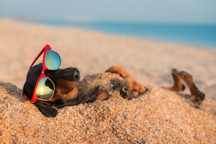 Такса Дин в солнечных очках