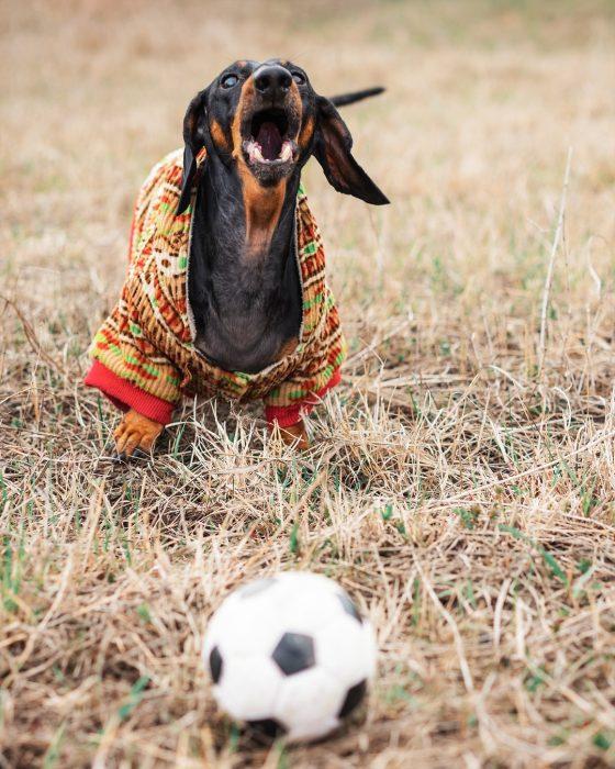 Такса Дин на траве