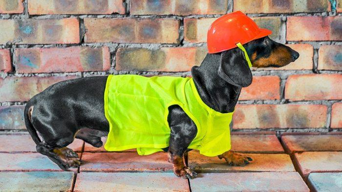 Такса Дин в строительной каске