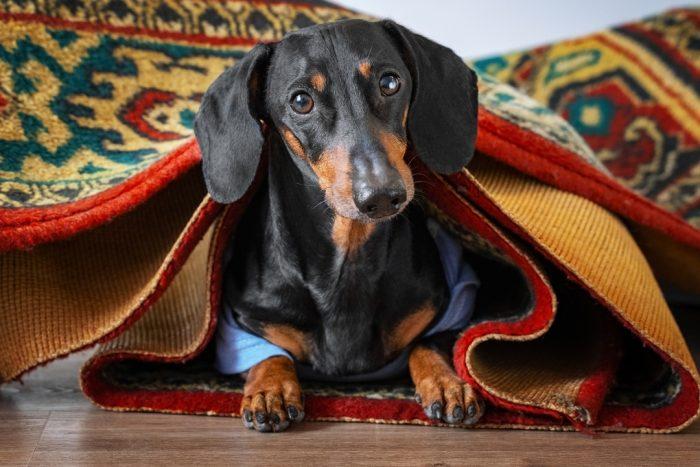 Такса Дин под ковром