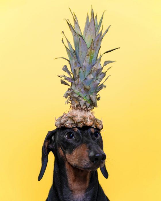 Такса Дин в шляпе из ананаса
