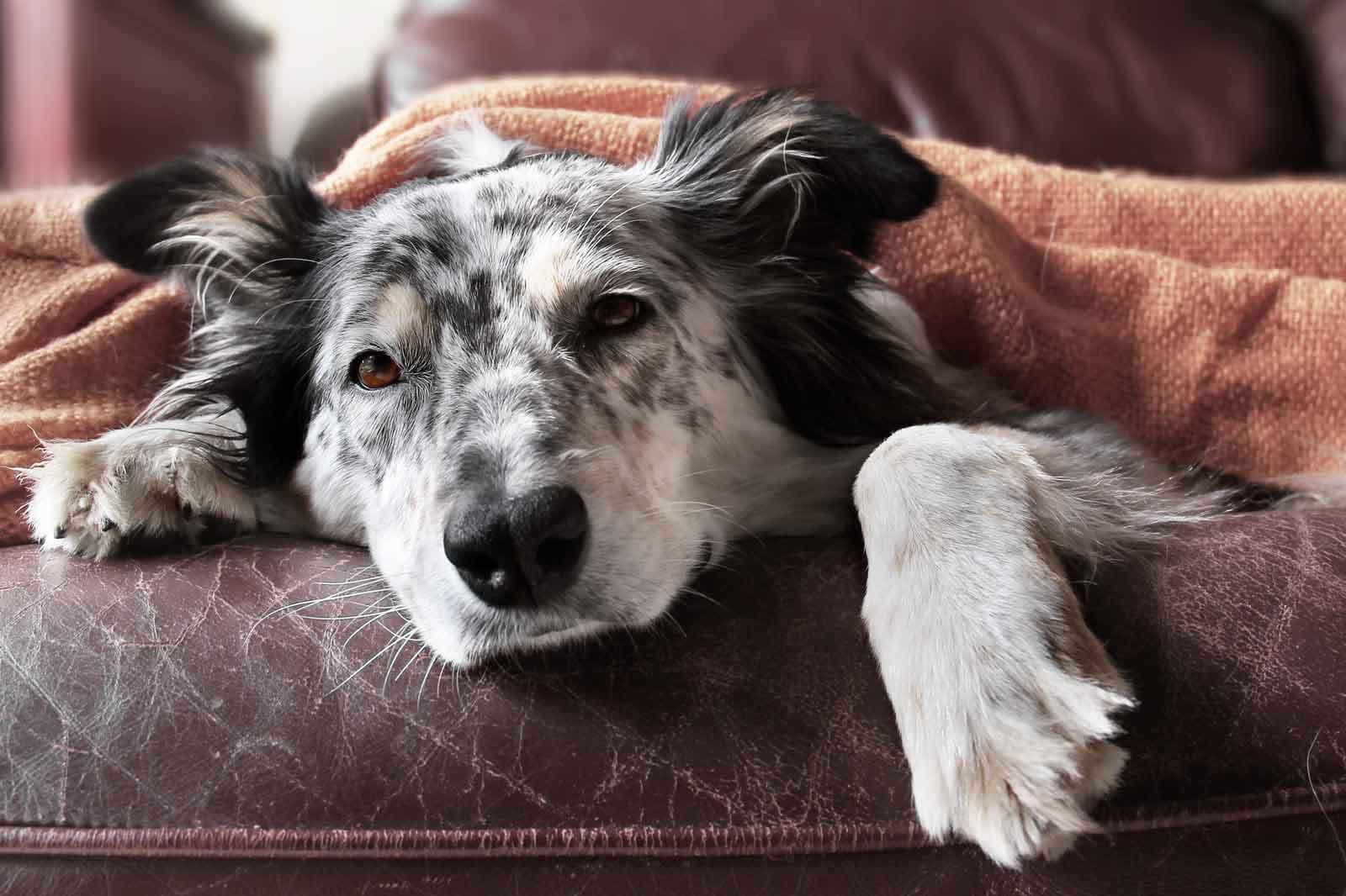 У собаки температура: какие части тела питомца помогут определить жар