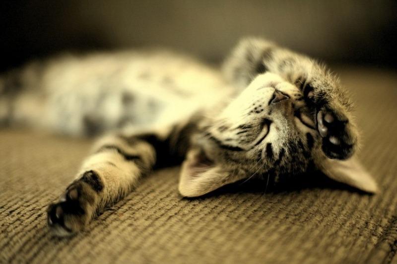 Совсем, как человек: почему кошка дергается во сне