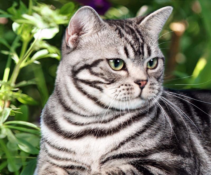 «Дикий» окрас: какую кошку выбрать, если захотелось домашнего тигра