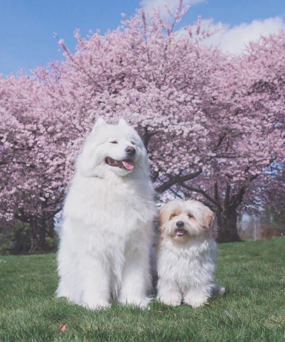 Собаки Медвежонок и Момо