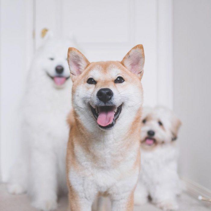 Собаки Медвежонок, Момо и Зета