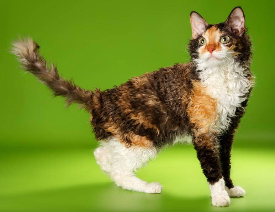 Домашние барашки: 4 породы кудрявых кошек