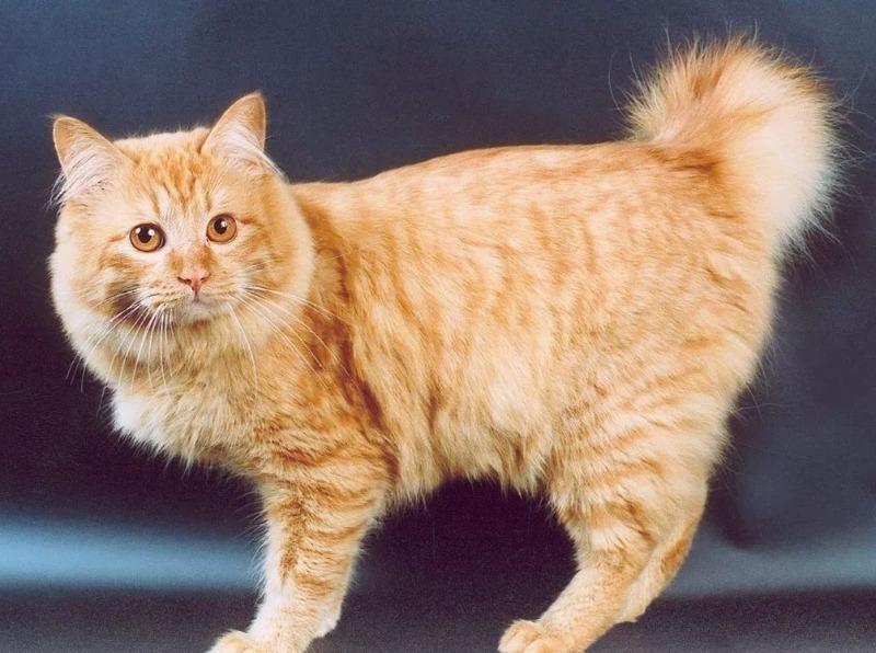 Кажется, чего-то не хватает: 5 пород кошек с коротким хвостом