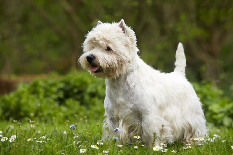 Пушистая снежинка: 5 пород собак с белоснежным окрасом