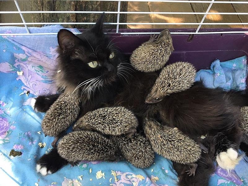 Ежкина мама-кошка