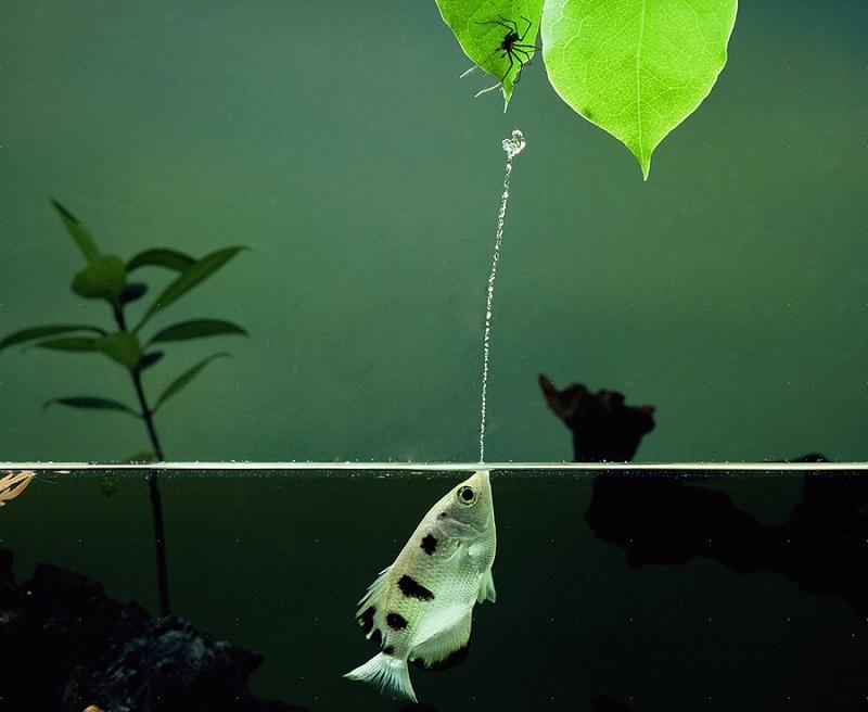 Рыбы-брызгуны