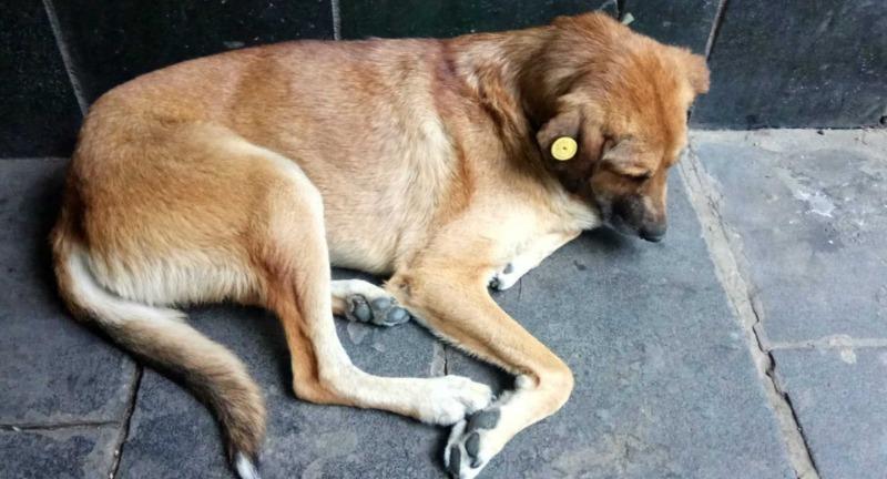 Что означают цветные бирки на ушах бездомных собак