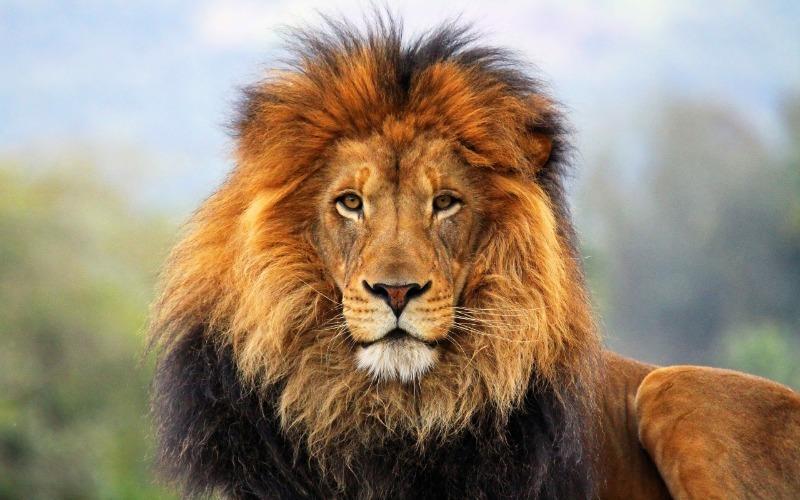 За какие заслуги льва называют царем зверей