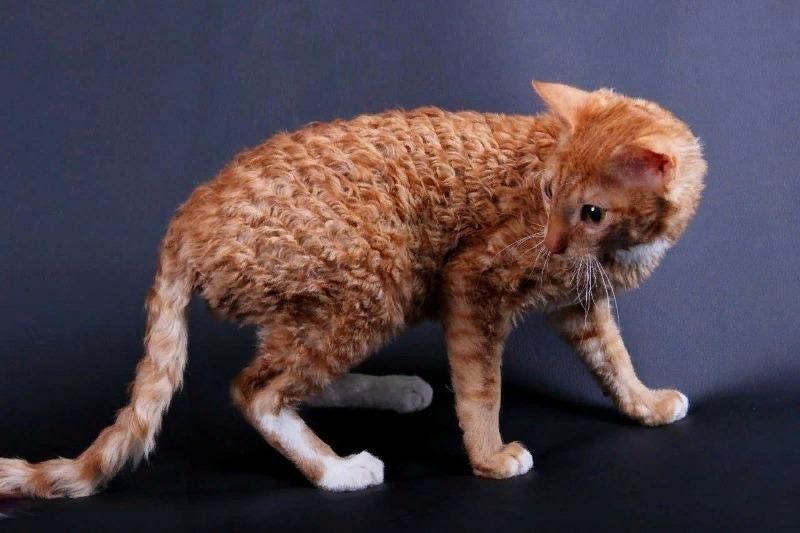 Знай наших: 8 пород кошек, которые были выведены в России