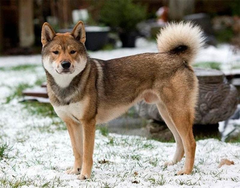 5 пород собак, которые выведены от домашнего животного и дикого зверя