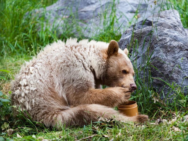 Медведи косолапят, сходят с ума по меду и сосут лапу: что правда, а что вымысел