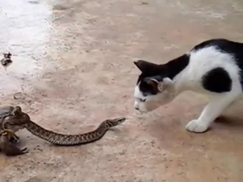 Кот-укротитель кобры