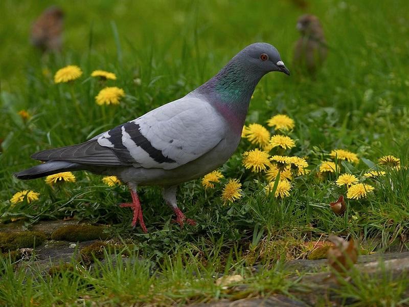 Мы очень мало знаем о голубях: 4 распространенных заблуждения о птицах, которых видим каждый день
