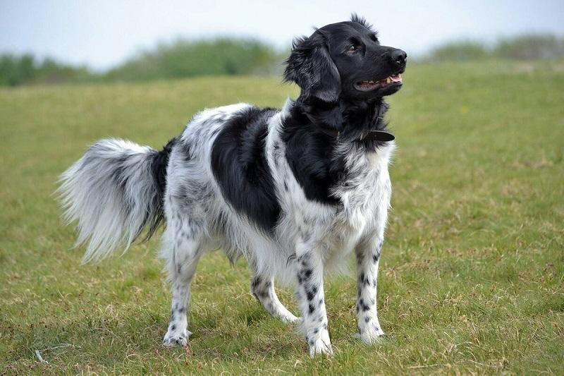 На грани вымирания: 8 самых редких пород собак