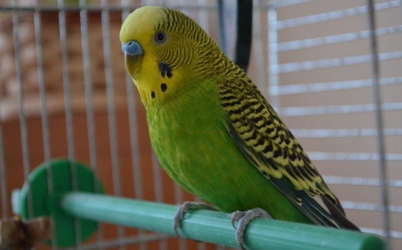 Мурзик, пошел вон: как попугай научился держать кота в «ежовых рукавицах»