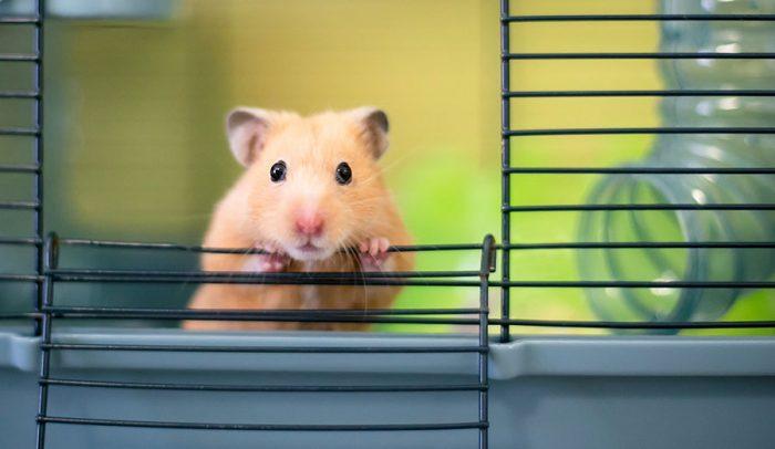 Что делать, если хомяк сбежал из клетки