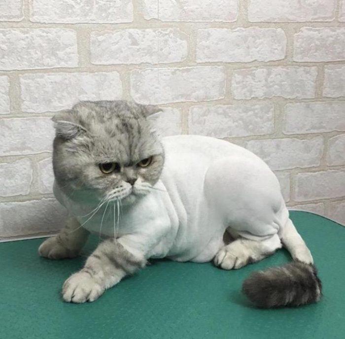 лучшая стрижка для кошки