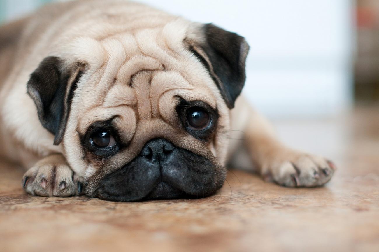 Собаки брахицефалы