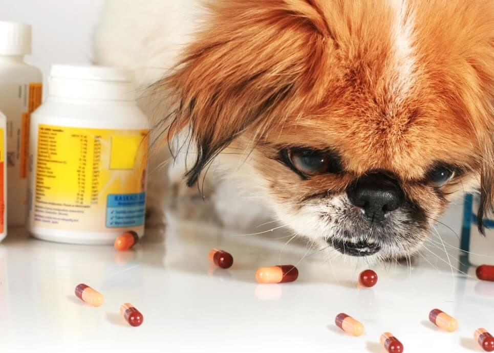 Как давать таблетки собаке мелкой породы