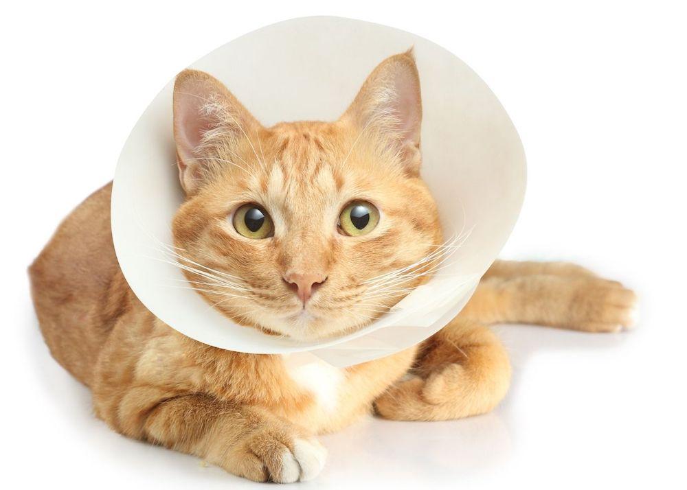 Что такое кошачий воротник