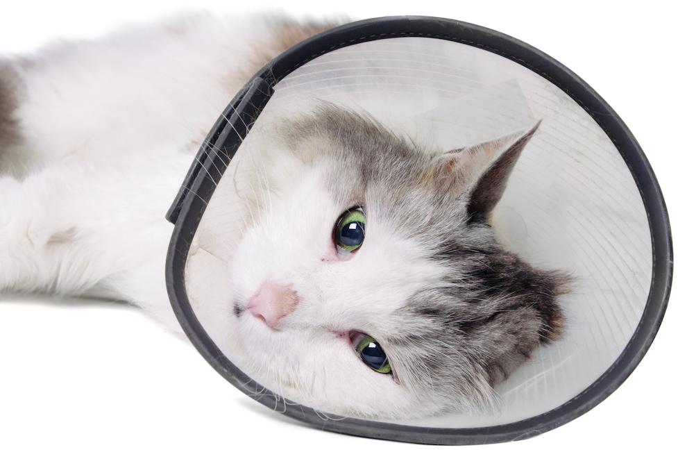 готовый защитный воротник для кота