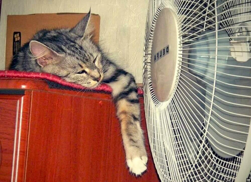 Как коты и кошки переносят жару