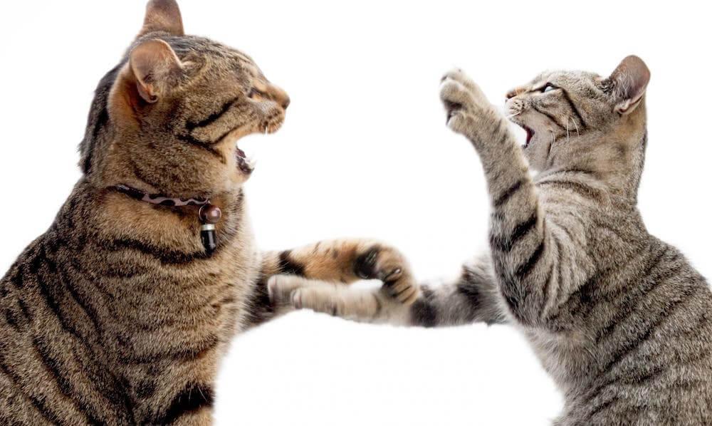 Конфликт между кошками