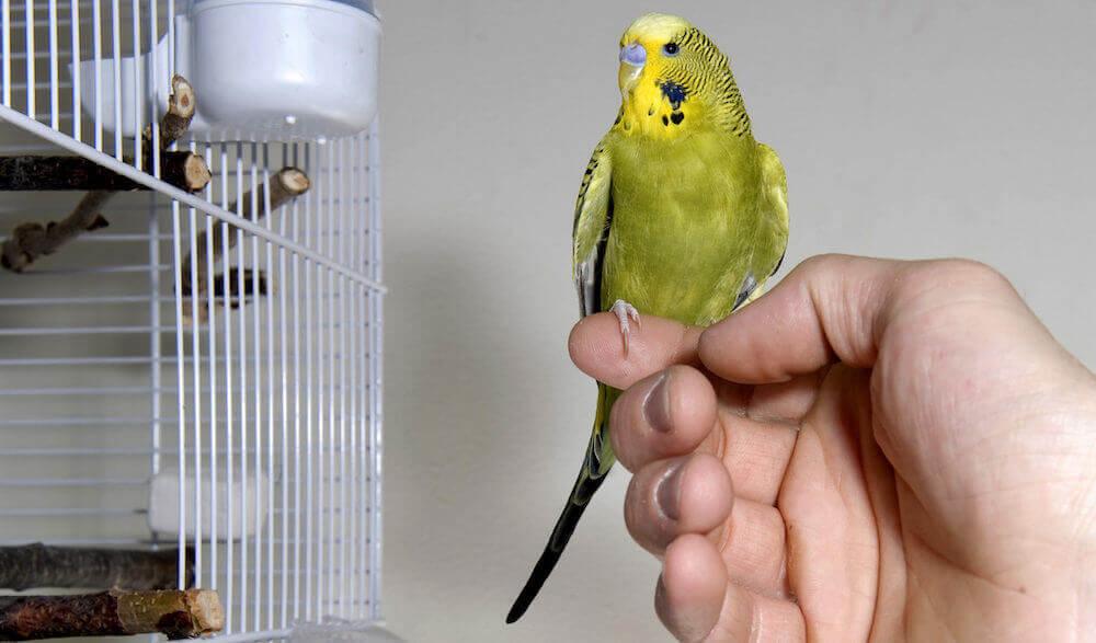 что не стоит делать, если планируете приручить попугая