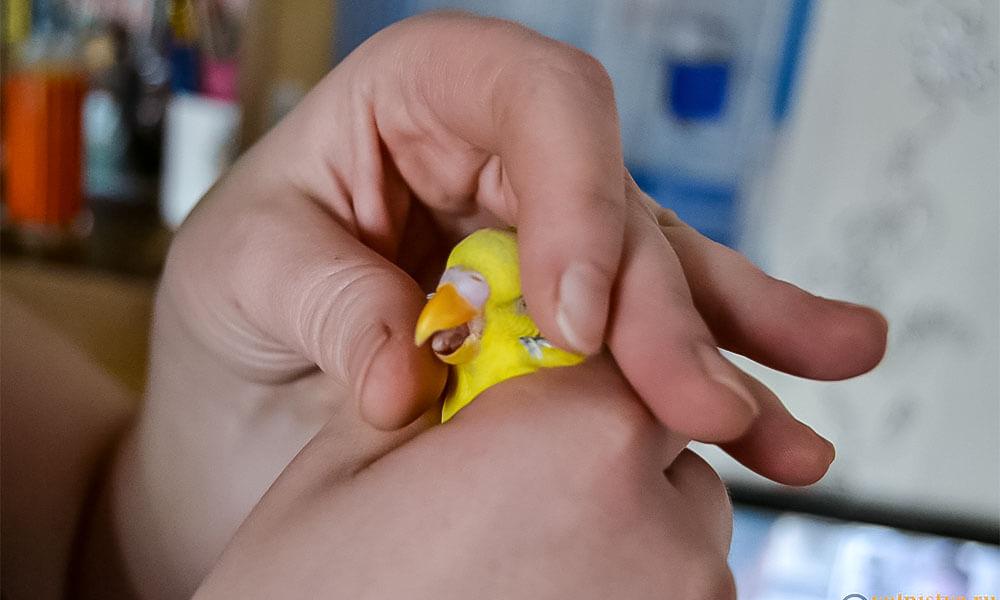 Как зафиксировать попугая