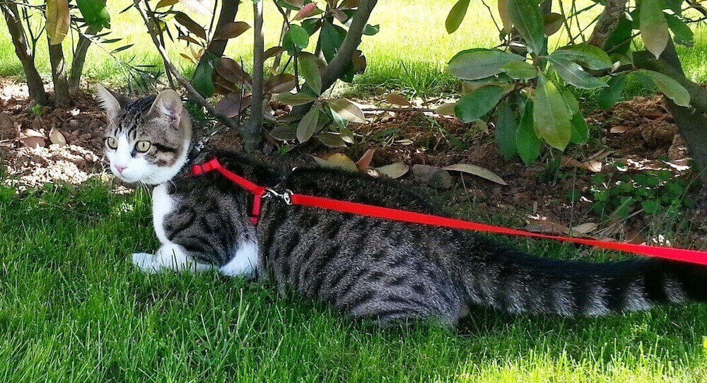 Как приучить кота к прогулкам на шлейке и поводке